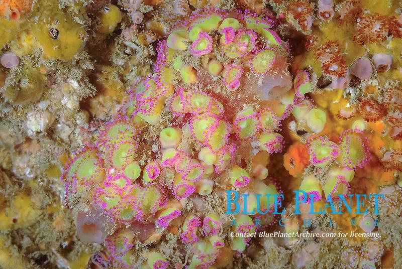Colony of jewel-anemones, Corynactis viridis, off coast of Ploumanach, North Brittany, North of France, Atlantic Ocean, Europe,