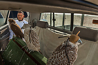 United Arab Emirates (UAE). Abu Dhabi. Organised jointly by the Hamdan Bin Mohammed Center for the Revival of Heritage (HHC) and Abu Dhabi Falconers Club, the UAE Falconers League has a total of nine rounds that ran until February 19 between Dubai and Abu Dhabi. A falconer's car with three falcons with hoods on heads standing on rear passenger seat. The man is wearing a thawb (thobe, dishdasha, kandora) which is an ankle-length garment, usually with long sleeves, similar to a robe, kaftan or tunic. It is commonly worn in the Arabian Peninsula. A sirwal or pants, izaar or lungi are typically worn underneath. Falcons are birds of prey in the genus Falco, which includes about 40 species. Adult falcons have thin, tapered wings, which enable them to fly at high speed and change direction rapidly. Additionally, they have keen eyesight for detecting food at a distance or during flight, strong feet equipped with talons for grasping or killing prey, and powerful, curved beaks for tearing flesh. The United Arab Emirates (UAE) is a country in Western Asia at the northeast end of the Arabian Peninsula. 18.02.2020  © 2020 Didier Ruef