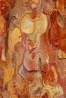 Natural designs found in the bark of Ponderosa trees