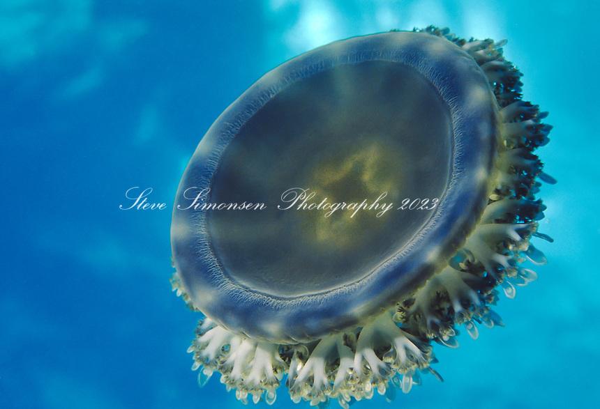 Upsidedown Jelly <br /> Cassiopea frondosa<br /> Caribbean