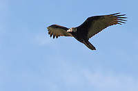 Although it has an ugly, bare-skinned face, the Turkey Vulture is beautiful on the wing.