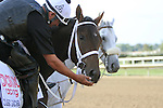 September 19, 2014: Pennsylvania Derby contender Classic Giacnroll gets a mint from his rider while standing at the gap by the Parx track the day before the race at Parx Racing in Bensalem, PA  ©Joan Fairman Kanes/ESW/CSM