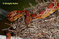 1R22-583z  Corn Snake, Banded Corn Snake, Elaphe guttata guttata or Pantherophis guttata guttata, climbing tree to eat eggs or young in  bird's nest