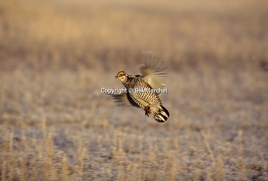 00500-006.09 Greater Prairie Chicken male in flight is landing at lek during spring.