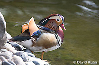 0310-1024  Drake (Male) Mandarin Duck, Aix galericulata  © David Kuhn/Dwight Kuhn Photography.
