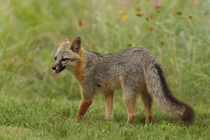 Gray Fox (female) in late June.