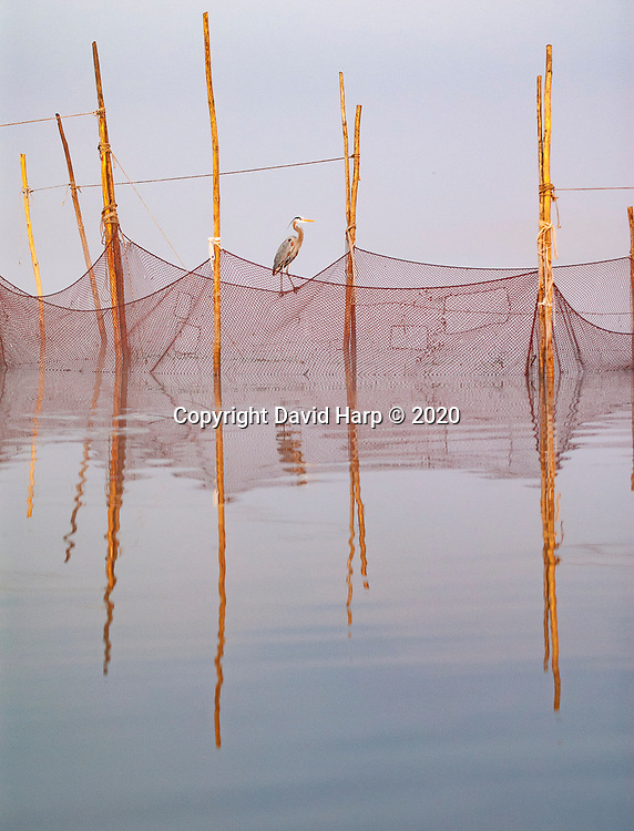A great blue heron waits patiently for an easy dinner at the pound net on the Nanticoke River on a foggy spring morning
