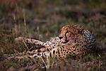 Cheetah (Acinonyx jubatus) three year old male, Kafue National Park, Zambia