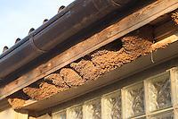 Mehlschwalbe, Mehl-Schwalbe, Schwalbe, Lehmnest, Nest, Lehmnester, Nester unter Dachvorsprung, ein anmontiertes Brett gibt Mehlschwalben die Möglichkeit, ihre Nestes sicher zu befestigen, Schwalbennest, Schwalbennester, Delichon urbicum, Delichon urbica, House Martin, Hirondelle de fenêtre
