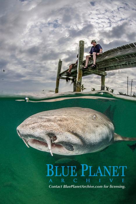 Nurse Shark, Ginglymostoma cirratum, hunting for scraps in the river mouth at Hawks Nest Resort and Marina, Cat Island, Bahamas, Caribbean Sea, Atlantic Ocean