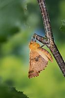 Herbst-Zackenrandspanner, Herbst-Zackenspanner, Herbstlaubspanner, Herbstlaub-Spanner, Zackenspanner, Männchen, Ennomos autumnaria, Large Thorn, male, L'Ennomos moucheté, Spanner, Geometridae, looper, loopers, geometer moths, geometer moth