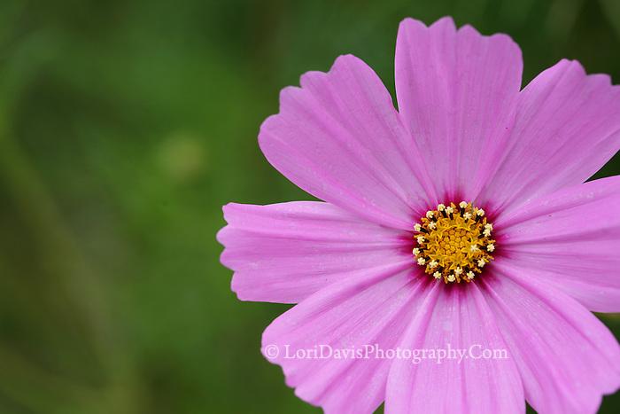 Cosmos Blossom  #F4