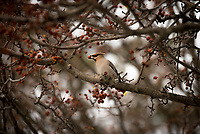 Bohemian Waxwings devour berries on ornamental trees on the west end of the UAA Campus.