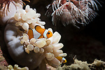 Lembeh Strait, Indonesia; a pair of false clown anemonefish swimming amongst their host anemone