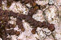 Breites Wassersackmoos, Breitblättriges Sackmoos, Breites Sackmoos, Frullania dilatata, Dilated Scalewort, Lebermoos, Lebermoose, liverwort, liverworts