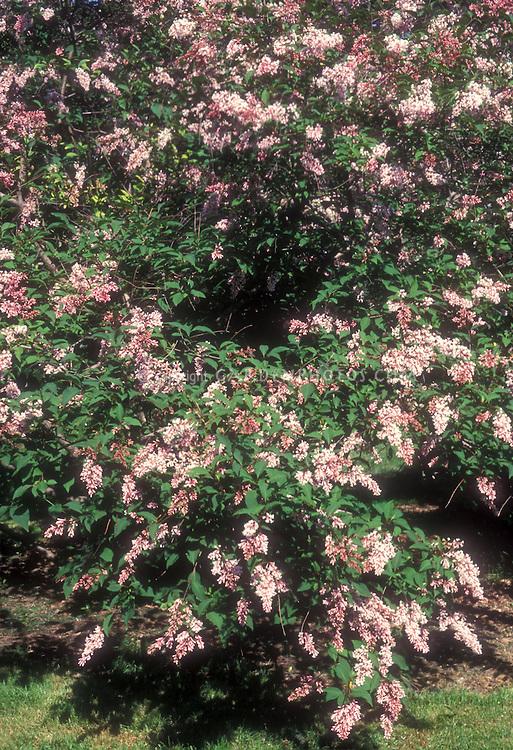 Syringa komarovii subsp reflexa, aka Syringa reflexa, Chinese Lilac in flower in spring, showing plant habit and blooms of pink