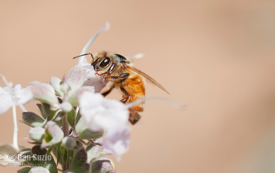 Honeybee, Apis mellifera, on flowers of whte sage, Salvia apiana. Mendocino County, California
