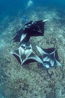 manta researcher Guy Stevens photographs reef manta rays, Mobula alfredi, at cleaning station on coral reef, Manta Point, Lankan, North Male Atoll, Maldives, Indian Ocean