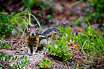 Small gound squirrel, often mistaken for a Chipmunk, living in burrows and found in mountainous areas of the western U.S.  This squirrel found at Lolo Pass in the Bitterroot Mountains.
