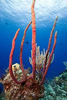 Erect rope sponge, amphimedon compressa