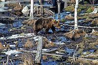 Bruine beer (Ursus arctos), zojuist uit winterslaap