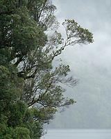 Native rainforest, southern rata in rain, Doubtful Sound, Fiordland National Park, UNESCO World Heritage Area, Southland, New Zealand, NZ