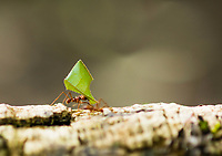 Leafcutter Ant, Atta cephalotes, carries a piece of leaf to its nest in Tortuguero National Park, Costa Rica