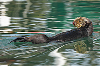 The female sea otter, Enhydra lutris nereis, @ Moss Landing in the Monterey Bay National Marine Sanctuary, is finally awake and trying to get ready to resume mating activities with the waiting male sea otter. Her severely bloody nose is an indication of the recent mating activities in which the male often hold the female's nose with his teeth to hold her and it is bloodied.