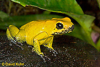 0519-07ww  Golden Poison Dart Frog - Phyllobates terribilis - © David Kuhn/Dwight Kuhn Photography