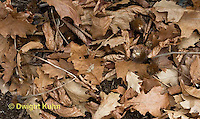 MU35-509z White-footed Mouse camouflaged in leaves on forest floor, Peromyscus leucopus