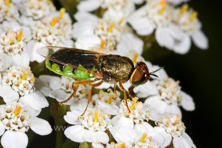 Waffenfliege, Odontomyia hydroleon, Stratiomys hydroleon, barred green colonel, soldier fly, soldierfly, Waffenfliegen, Stratiomyidae, Stratiomyiidae, soldier flies, soldierflies