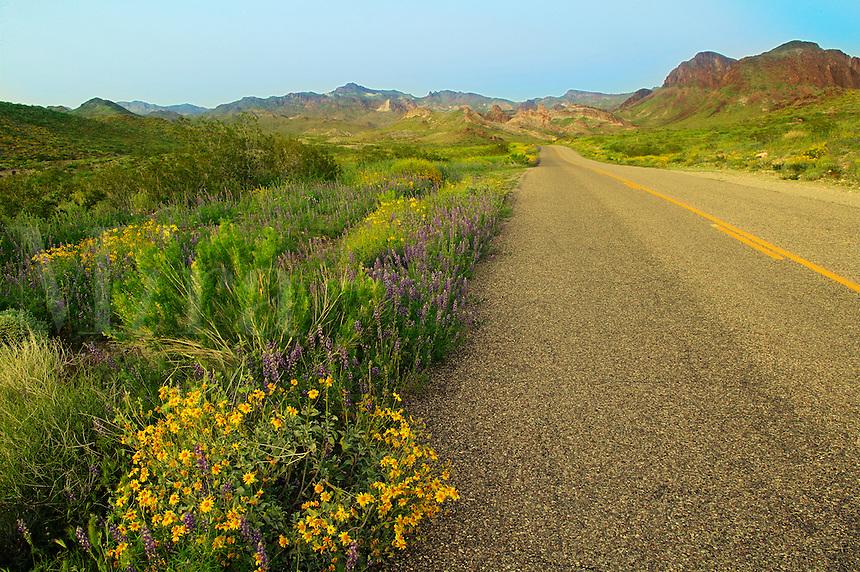 Wildflowers along Route 66, near Oatman, Arizona