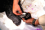 Measuring Paw Black Bear