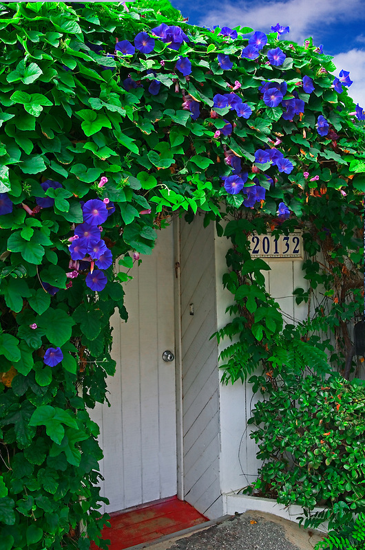 Morning glory growing on front of house. California