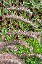 Pennisetum orientale 'Karley Rose' in front of Sanguisorba, early August.