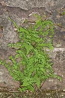 Zerbrechlicher Blasenfarn, an einer alten Mauer, Mauerritze, Blasen-Farn, Cystopteris fragilis, brittle bladderfern, common fragile fern