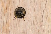 Rote Mauerbiene, Rostrote Mauerbiene, Mauerbiene, Mauer-Biene, Weibchen, Nest, Neströhre, Niströhren, Wildbienen-Nisthilfe, Wildbienennisthilfe, Osmia bicornis, Osmia rufa, red mason bee, mason bee, female, L'osmie rousse, Mauerbienen, mason bees. Wildbienen-Nisthilfe aus Holz, Längsholz, Hartholz, Wildbienen-Nisthilfe selbermachen, selber machen, Wildbienenhotel, Insektenhotel, Wildbienen-Hotel, Insekten-Hotel