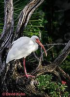 0204-08mm  White Ibis, Eudocimus albus © David Kuhn/Dwight Kuhn Photography