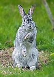 Doing the bunny hop, Rabbit dances in Karen Miller's back garden.