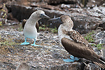 Pictured: With female (right).<br /> <br /> Male blue-footed boobies show off their feet in a fascinating mating dance.  The marine birds shift from one foot to another in an attempt to attract a female mate - and could give Elvis Presley and his Blue Suede Shoes a run for his money.<br /> <br /> The colour of the boobies' distinctively bright-blue feet indicates how able a hunter they are - an attractive quality to the opposite sex.  Photographer Peter Cooper captured the shots on a dream trip to the Galapagos Islands, off the coast of Ecuador.  SEE OUR COPY FOR DETAILS.<br /> <br /> Please byline: Peter Cooper/Solent News<br /> <br /> © Peter Cooper/Solent News & Photo Agency<br /> UK +44 (0) 2380 458800