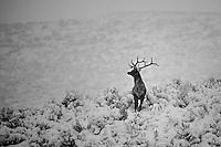A bull elk keeps a wary eye open for danger on a snowy winter day.