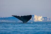 bowhead whale, Balaena mysticetus, in an open lead in the Chukchi Sea, off Point Barrow, Arctic Alaska