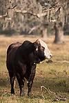 Damon, Texas; a large bull standing in the pasture in early morning sunlight