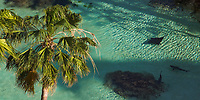 Palm tree overlooking a turquoise lagoon with one eagle ray and two Caribbean reef sharks swimming, on Paradise Island, near Nassau, Bahamas