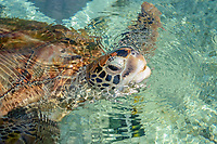 green sea turtle, Chelonia mydas, Kélonia in Saint-Leu, provides the opportunity to observe sea turtle in their natural and reconstituted habitats. Réunion, overseas department and region of the French Republic and an Indian Ocean island in East Africa