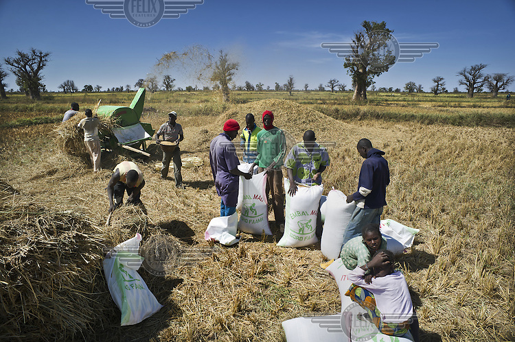 Farmers sewing up sacks of newly harvested rice on farmland between Markala and Niono in the Office du Niger, an irrigation scheme near Segou.