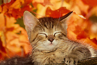 Gray tabby kiteen rests among maple leaves in fall