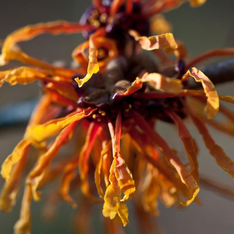 Witch hazel (Hamamelis x intermedia 'Aphrodite'), end January.