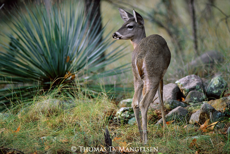 A young Coues whitetail deer pauses to listen to noises in the canyon in Southeast Arizona.