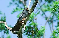 Rotfußfalke, Männchen mit Beute, erbeutetem Küken, Falken, Falke, Falco vespertinus, red-footed falcon, western red-footed falcon, male, Le Faucon kobez